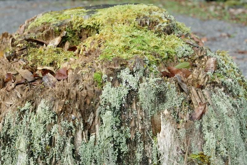 修善寺の苔